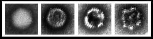 Integrity analysis of Adenovirus samples